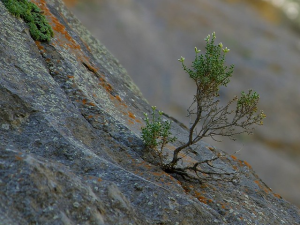Resilient tree on rocky mountainside